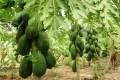 CULTURE DE LA PAPAYE : Récolter jusqu'à 18 millions sur 22 mois