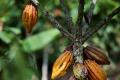 Cacao Culture : Au Cameroun, de nouvelles variétés de semences boostent le rendement du cacao et contribuent à la prospérité des cultivateurs